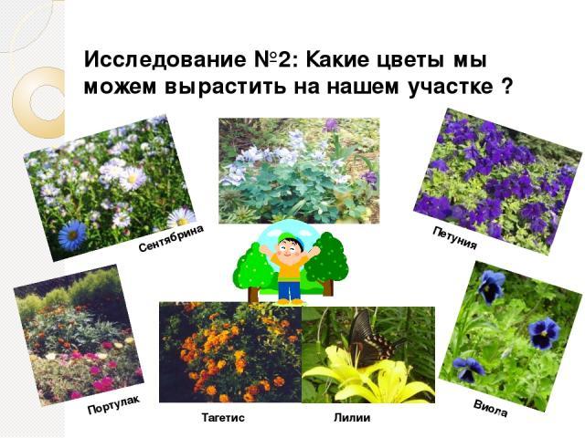 Сентябрина Петуния Портулак Тагетис Лилии Виола Исследование №2: Какие цветы мы можем вырастить на нашем участке ?