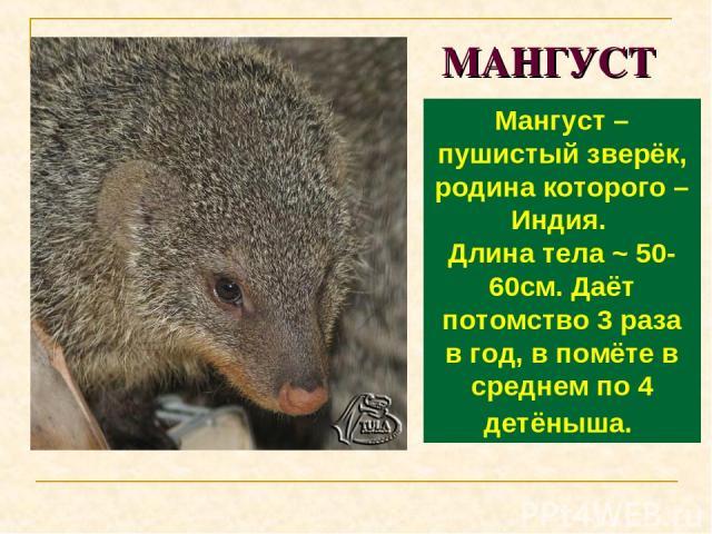 МАНГУСТ Мангуст – пушистый зверёк, родина которого – Индия. Длина тела ~ 50-60см. Даёт потомство 3 раза в год, в помёте в среднем по 4 детёныша.