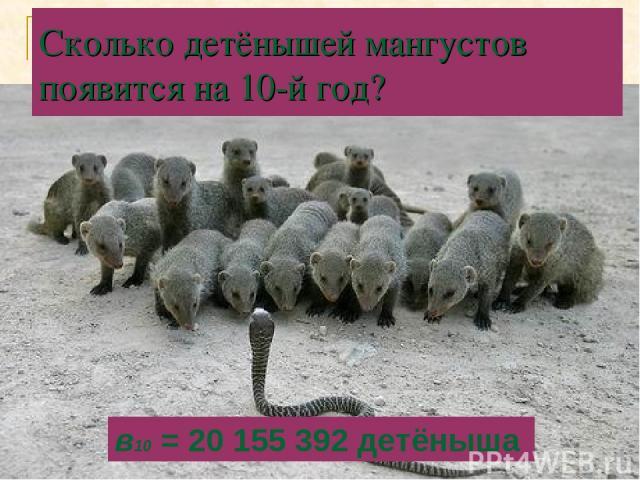 Сколько детёнышей мангустов появится на 10-й год? в10 = 20 155 392 детёныша