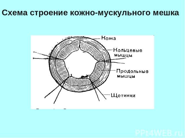 Схема строение кожно-мускульного мешка