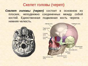 Скелет головы (череп) Скелет головы (череп) состоит в основном из плоских, непод