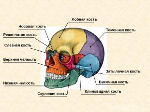 Решетчатая кость Слезная кость Носовая кость Лобная кость Теменная кость Затылоч