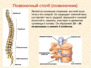 Позвоночный столб (позвоночник) Является основным стержнем, костной осью тела и