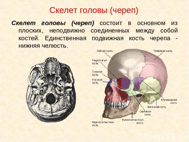 Скелет головы (череп) Скелет головы (череп) состоит в основном из плоских, неподвижно соединенных между собой костей. Единственная подвижная кость черепа - нижняя челюсть.