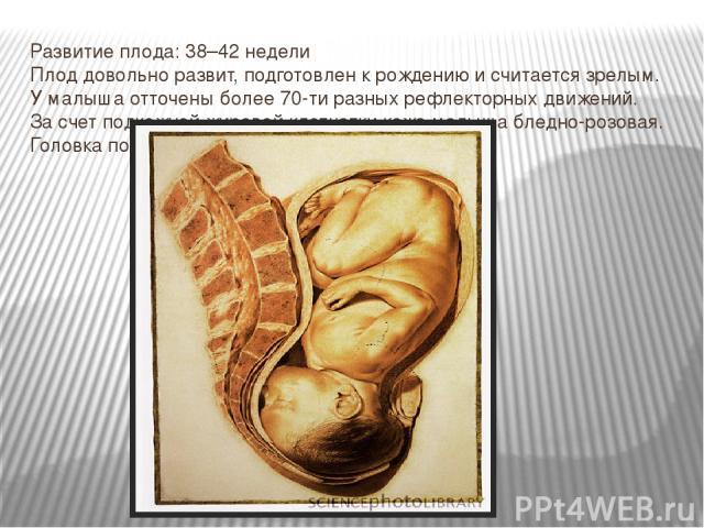 Развитие плода:38–42недели Плод довольно развит, подготовлен крождению исчитается зрелым. Умалыша отточены более70-тиразных рефлекторных движений. Засчет подкожной жировой клетчатки кожа малыша бледно-розовая. Головка покрыта волосиками до3см.