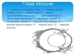 1 — нижняя косая мышца глаза; 2 — нижняя прямая мышца глаза; 3 — нижнее веко; 4