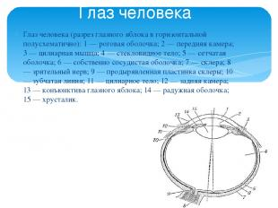 Глаз человека (разрез глазного яблока в горизонтальной полусхематично): 1 — рого