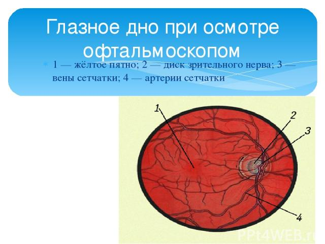 1 — жёлтое пятно; 2 — диск зрительного нерва; 3 — вены сетчатки; 4 — артерии сетчатки Глазное дно при осмотре офтальмоскопом