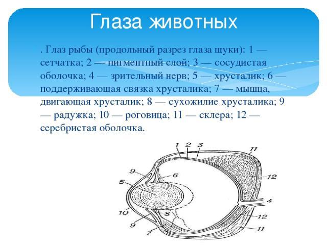 . Глаз рыбы (продольный разрез глаза щуки): 1 — сетчатка; 2 — пигментный слой; 3 — сосудистая оболочка; 4 — зрительный нерв; 5 — хрусталик; 6 — поддерживающая связка хрусталика; 7 — мышца, двигающая хрусталик; 8 — сухожилие хрусталика; 9 — радужка; …