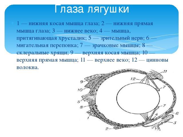 1 — нижняя косая мышца глаза; 2 — нижняя прямая мышца глаза; 3 — нижнее веко; 4 — мышца, притягивающая хрусталик; 5 — зрительный нерв; 6 — мигательная перепонка; 7 — зрачковые мышцы; 8 — склеральные хрящи; 9 — верхняя косая мышца; 10 — верхняя пряма…