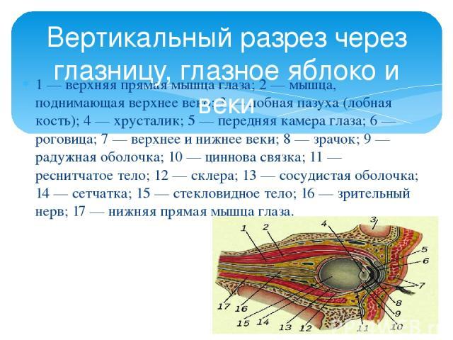 1 — верхняя прямая мышца глаза; 2 — мышца, поднимающая верхнее веко; 3 — лобная пазуха (лобная кость); 4 — хрусталик; 5 — передняя камера глаза; 6 — роговица; 7 — верхнее и нижнее веки; 8 — зрачок; 9 — радужная оболочка; 10 — циннова связка; 11 — ре…