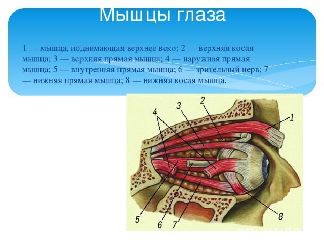 1 — мышца, поднимающая верхнее веко; 2 — верхняя косая мышца; 3 — верхняя прямая мышца; 4 — наружная прямая мышца; 5 — внутренняя прямая мышца; 6 — зрительный нерв; 7 — нижняя прямая мышца; 8 — нижняя косая мышца. Мышцы глаза