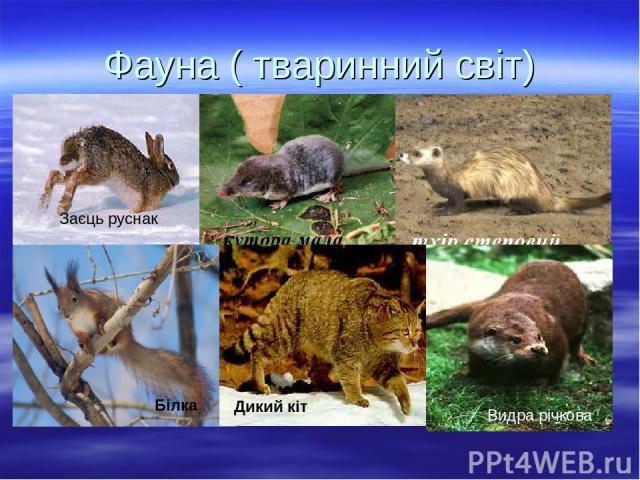 Фауна ( тваринний світ) Білка Дикий кіт Видра річкова Заєць руснак