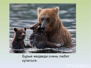 Бурые медведи очень любят купаться.