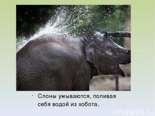 Слоны умываются, поливая себя водой из хобота.