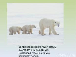 Белого медведя считают самым чистоплотным животным. Благодаря гигиене его мех со
