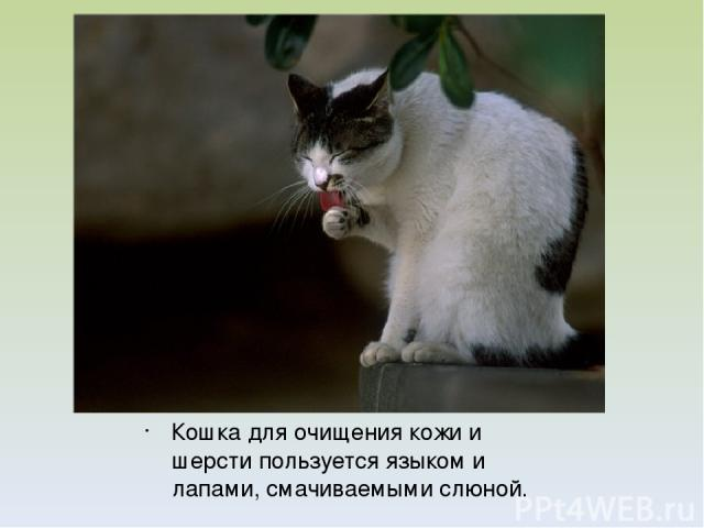 Кошка для очищения кожи и шерсти пользуется языком и лапами, смачиваемыми слюной.