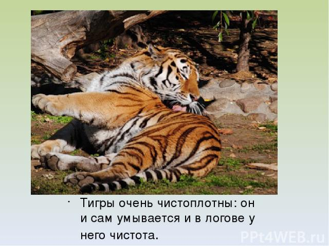Тигры очень чистоплотны: он и сам умывается и в логове у него чистота.
