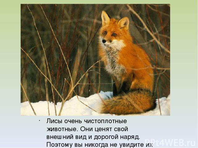 Лисы очень чистоплотные животные. Они ценят свой внешний вид и дорогой наряд. Поэтому вы никогда не увидите их грязными.