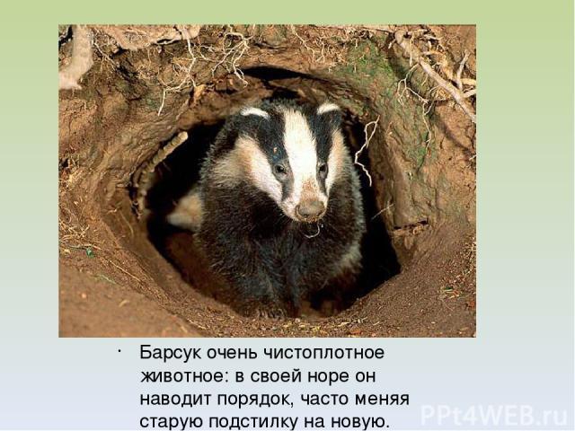 Барсук очень чистоплотное животное: в своей норе он наводит порядок, часто меняя старую подстилку на новую.