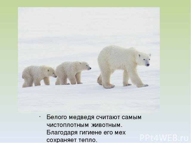 Белого медведя считают самым чистоплотным животным. Благодаря гигиене его мех сохраняет тепло.