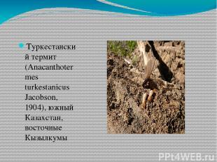 Туркестанский термит (Anacanthotermes turkestanicus Jacobson, 1904), южный Казах