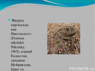 Ящурка киргизская, или Никольского (Eremias nikolskii Nikolsky, 1905), южный Каз