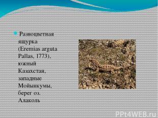Разноцветная ящурка (Eremias arguta Pallas, 1773), южный Казахстан, западные Мой