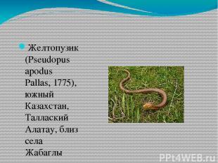 Желтопузик (Pseudopus apodus Pallas, 1775), южный Казахстан, Таллаский Алатау, б