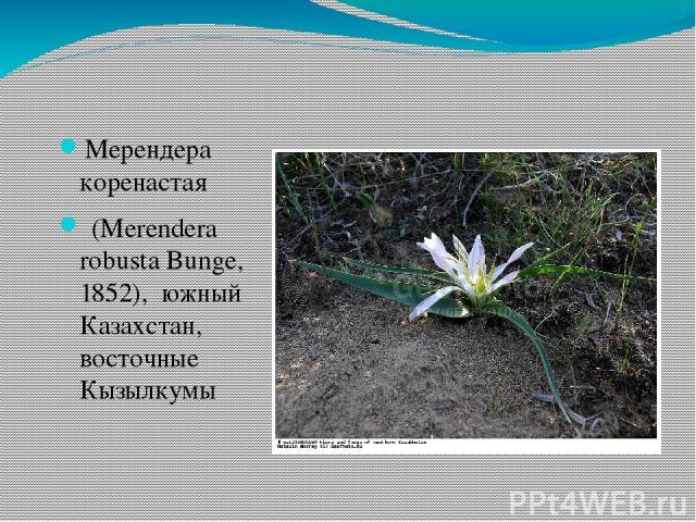 Мерендера коренастая (Merendera robusta Bunge, 1852), южный Казахстан, восточные Кызылкумы