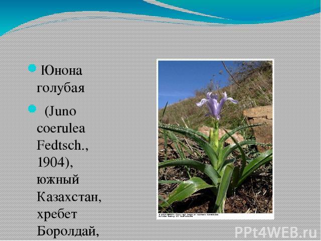 Юнона голубая (Juno coerulea Fedtsch., 1904), южный Казахстан, хребет Боролдай, Каратау