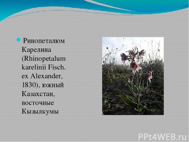 Ринопеталюм Карелина (Rhinopetalum karelinii Fisch. ex Alexander, 1830), южный Казахстан, восточные Кызылкумы