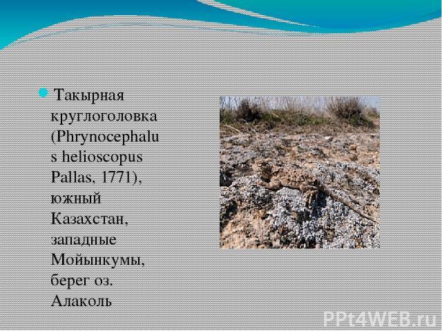 Такырная круглоголовка (Phrynocephalus helioscopus Pallas, 1771), южный Казахстан, западные Мойынкумы, берег оз. Алаколь