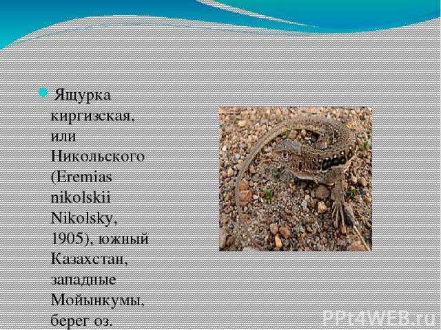 Ящурка киргизская, или Никольского (Eremias nikolskii Nikolsky, 1905), южный Казахстан, западные Мойынкумы, берег оз. Алаколь