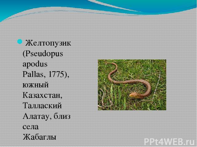 Желтопузик (Pseudopus apodus Pallas, 1775), южный Казахстан, Таллаский Алатау, близ села Жабаглы
