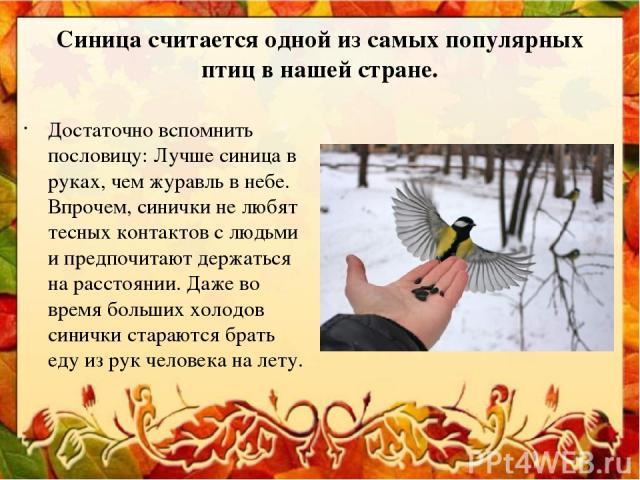 Синица считается одной из самых популярных птиц в нашей стране. Достаточно вспомнить пословицу: Лучше синица в руках, чем журавль в небе. Впрочем, синички не любят тесных контактов с людьми и предпочитают держаться на расстоянии. Даже во время больш…