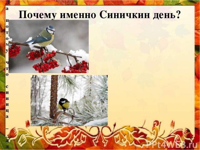 Почему именно Синичкин день? Да потому что синица – для Руси божья птица. Раньше в старину на неё гадали: бросали крошки хлеба, кусочки сала и наблюдали: если синичка сначала станет клевать сало, то в доме будет вестись живность, если станет клевать…