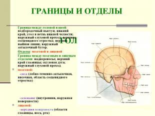 ГРАНИЦЫ И ОТДЕЛЫ ГОЛОВЫ Граница между головой и шеей: подбородочный выступ; нижн