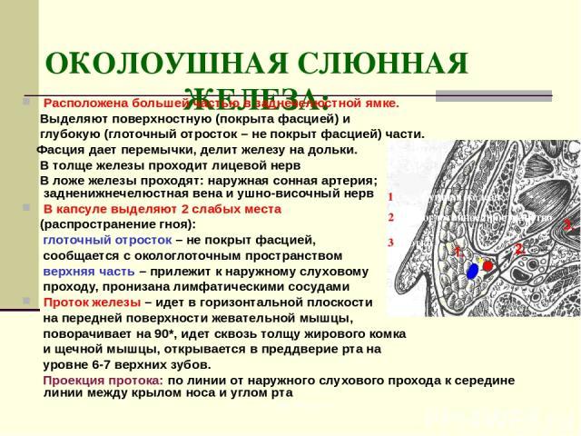 ОКОЛОУШНАЯ СЛЮННАЯ ЖЕЛЕЗА: Расположена большей частью в заднечелюстной ямке. Выделяют поверхностную (покрыта фасцией) и глубокую (глоточный отросток – не покрыт фасцией) части. Фасция дает перемычки, делит железу на дольки. В толще железы проходит л…