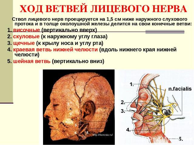 ХОД ВЕТВЕЙ ЛИЦЕВОГО НЕРВА Ствол лицевого нерв проецируется на 1,5 см ниже наружного слухового протока и в толще околоушной железы делится на свои конечные ветви: 1. височные (вертикально вверх) 2. скуловые (к наружному углу глаза) 3. щечные (к крылу…