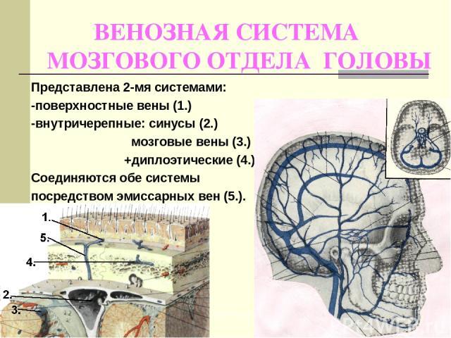 ВЕНОЗНАЯ СИСТЕМА МОЗГОВОГО ОТДЕЛА ГОЛОВЫ Представлена 2-мя системами: -поверхностные вены (1.) -внутричерепные: синусы (2.) мозговые вены (3.) +диплоэтические (4.) Соединяются обе системы посредством эмиссарных вен (5.). http://4anosia.ru/ http://4a…