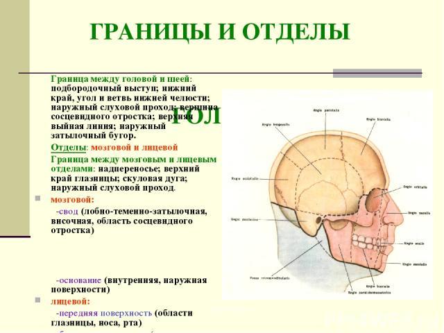 ГРАНИЦЫ И ОТДЕЛЫ ГОЛОВЫ Граница между головой и шеей: подбородочный выступ; нижний край, угол и ветвь нижней челюсти; наружный слуховой проход; вершина сосцевидного отростка; верхняя выйная линия; наружный затылочный бугор. Отделы: мозговой и лицево…
