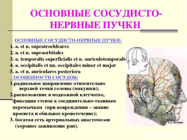 ОСНОВНЫЕ СОСУДИСТО- НЕРВНЫЕ ПУЧКИ ОСНОВНЫЕ СОСУДИСТО-НЕРВНЫЕ ПУЧКИ: 1. a. et n. supratrochleares 2. a. et n. supraorbitales 3. a. temporalis superficialis et n. auriculotemporalis 4. a. occipitalis et nn. occipitales minor et major 5. a. et n. auric…