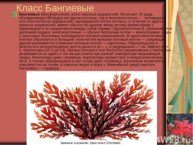 Класс Бангиевые Бангиевые (Bangiophyceae), класс красных водорослей. Включает 24 рода, объединяющих 90 видов как одноклеточных, так и многоклеточных — нитевидных или пластинчатых водорослей, одноядерные клетки которых, в отличие от других красных во…