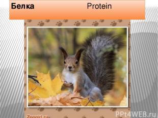 Белка Protein