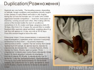 Duplication(Розмноження) Squirrels are very fertile. The breeding season, depend