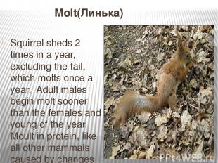 Molt(Линька) Squirrel sheds 2 times in a year, excluding the tail, which molts o