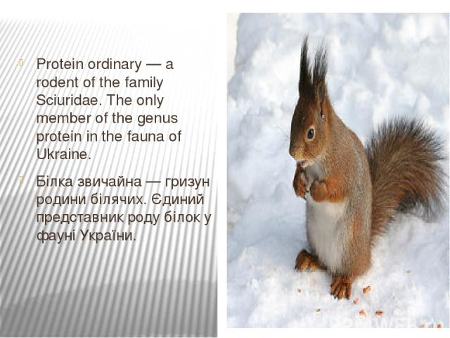 Protein ordinary — a rodent of the family Sciuridae. The only member of the genus protein in the fauna of Ukraine. Білка звичайна — гризун родини білячих. Єдиний представник роду білок у фауні України.