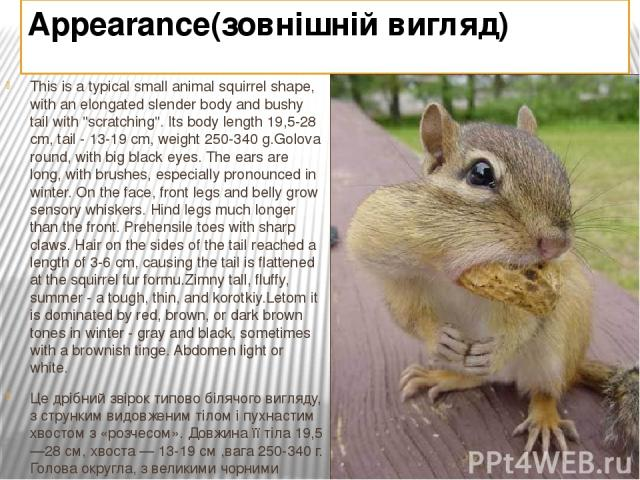 Appearance(зовнішній вигляд) This is a typical small animal squirrel shape, with an elongated slender body and bushy tail with