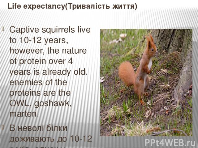 Life expectancy(Тривалість життя) Captive squirrels live to 10-12 years, however, the nature of protein over 4 years is already old. enemies of the proteins are the OWL, goshawk, marten. В неволі білки доживають до 10-12 років, однак у природі білка…